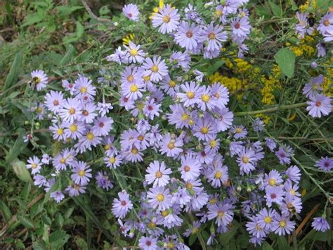 smooth blue aster.jpg?1555944881901
